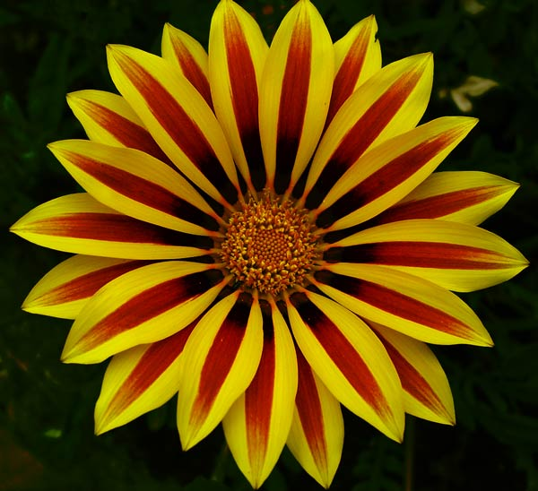 Yellow and red flower images flower decoration ideas yellow and red flower image collections flower decoration ideas yellow and red flowers images flower decoration mightylinksfo